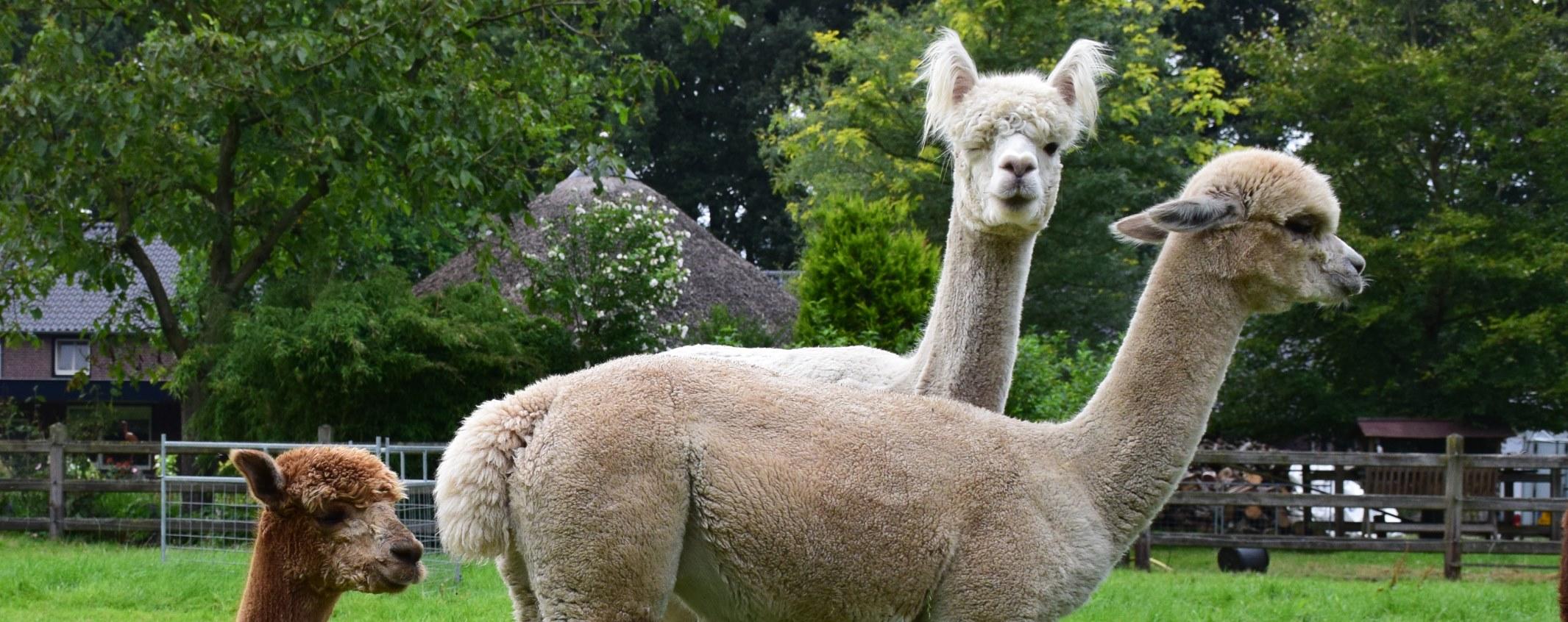 Dierengamma en dekservice   alpaca de parel